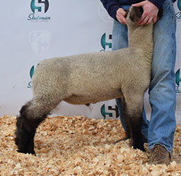 Online Sheep Sale Results - Show Stock Planet